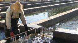 دانلود تحقیق تکثیر و پرورش ماهی قزل آلا