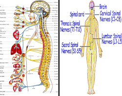 پاورپوینت فیزیولوژی اعصاب (ویژه ارائه کلاسی درس فیزیولوژی ورزشی)